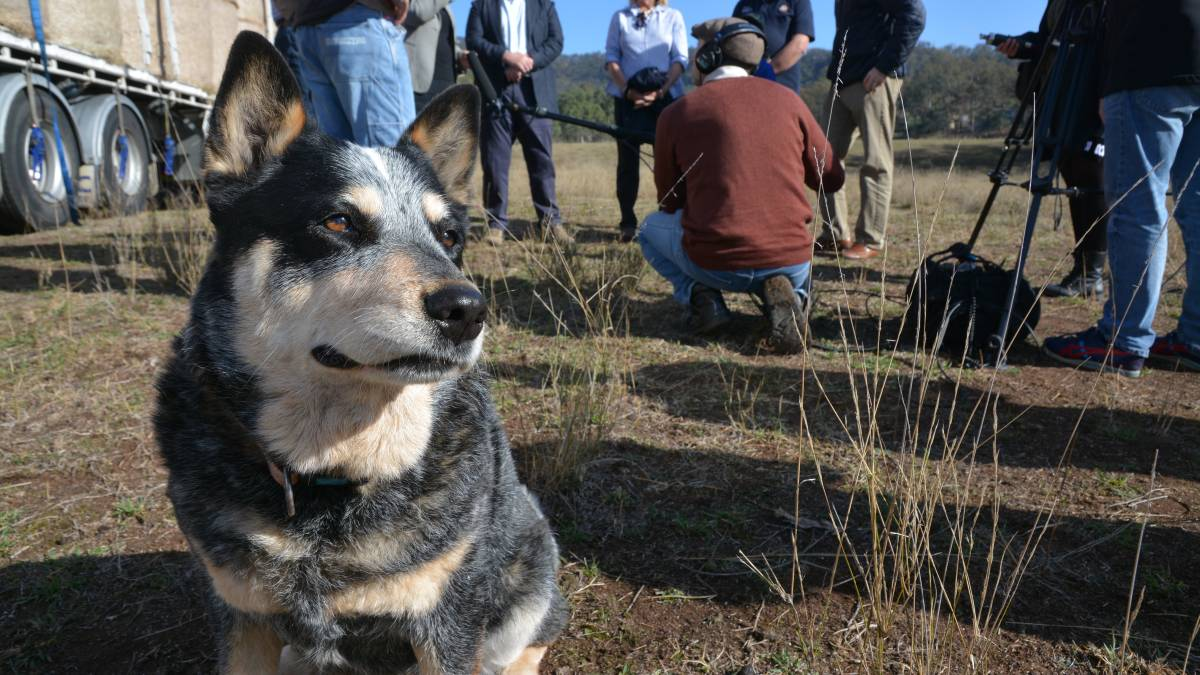 DOGGO DEVELOPMENT: Muswellbrook will host an Australian cattle dog event of international interest next year.